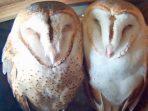 Cara Membedakan Burung Hantu Jantan dan Betina dari Fisik _ Perilaku
