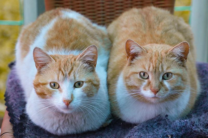 Cara Membedakan Kucing Jantan dan Betina Secara Mandiri di Rumah