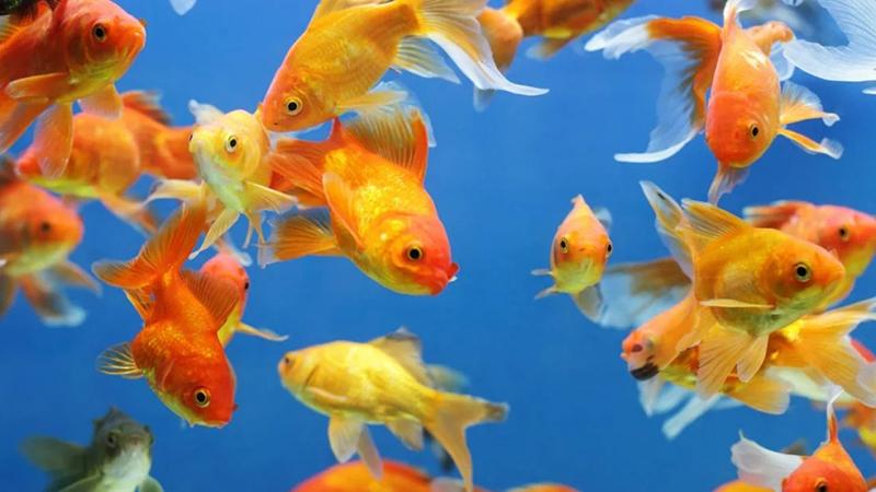 Inilah 5 Cara Membedakan Ikan Koki Jantan dan Betina Dengan Benar, Dijamin Akurat