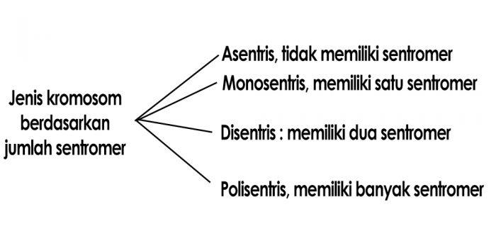 Jenis kromosom berdasarkan jumlah sentromer