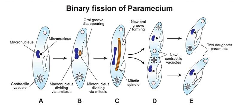 Reproduksi Protozoa