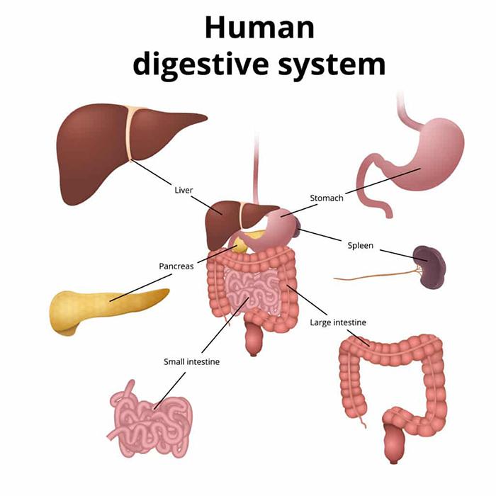 Sistem Pencernaan Makanan Manusia
