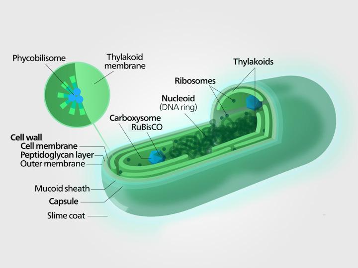 Struktur tubuh Sianobakteri