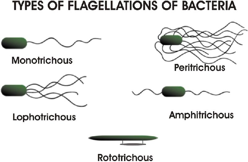 Tipe Bakteri Berdasarkan Jumlah dan Posisi Flagela